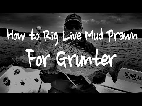 Rigging A Live Mud Prawn For Grunter