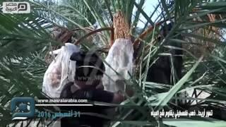 مصر العربية | تمور أريحا.. ذهب فلسطيني يقاوم شح المياه