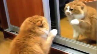 Кошки и зеркало  Улётное видео