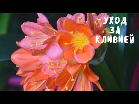 КЛИВИЯ. СЕКРЕТЫ СОДЕРЖАНИЯ. Мои цветы. Мой опыт.