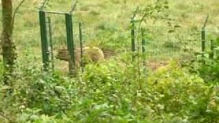 L'ours Furaco  (Asturies, Espagne) F - GUIASTUR