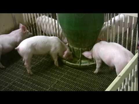 Big Wheel Gravity Pig Feeders Osborne Livestock Equipment