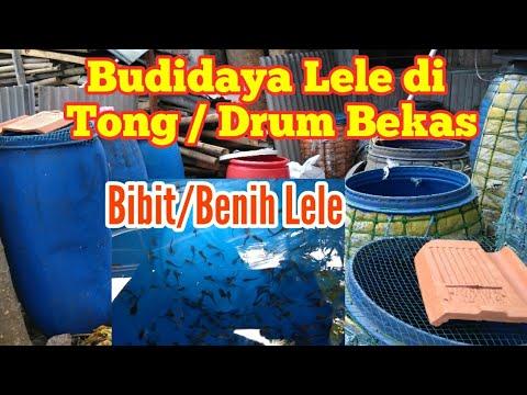 Budidaya Lele Dalam Drum Tong Serta Cara Perawatan Youtube
