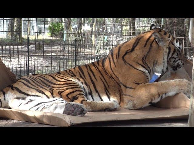 Tiger VS Box