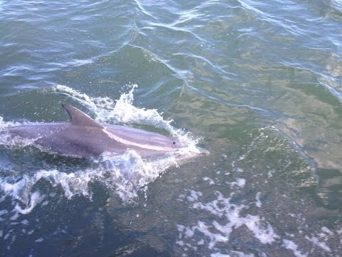 Brisbane Water Dolphin chases the Saratoga Ferry
