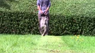 Standard Schnauzer Dog Training