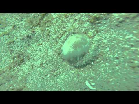 Sea Mouse in Verde Island Passage