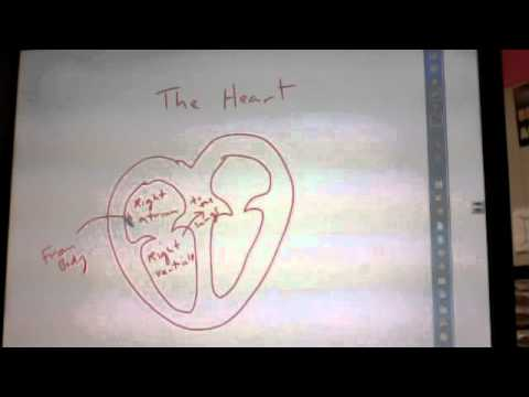 Heart diagram youtube heart diagram ccuart Image collections
