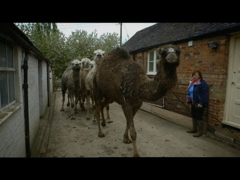 Bertie the Camel has got the hump! - Ronnie's Animal Crackers: Episode 2 Preview - BBC One