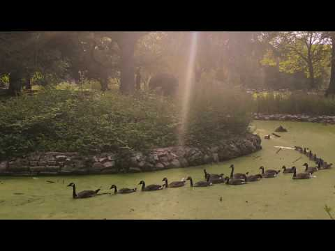 Ducks Migrating Through Abbey Park