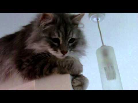 Siberian cat on Top of Door