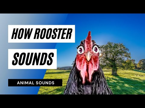 Rooster Crowing - Sound Effect - Animation