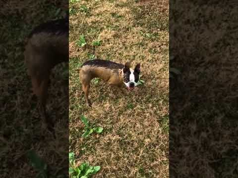 Are U A Pig Or A Boston Terrier?