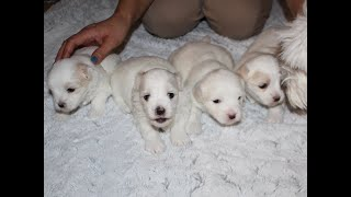 Coton Puppies For Sale - Emma 5/4/21