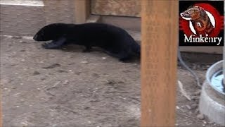 Video Rat Pest Control with Shelby the Mink and Onsa the Lurcher download MP3, 3GP, MP4, WEBM, AVI, FLV Juli 2018
