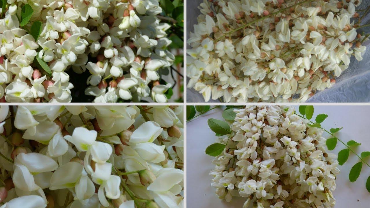 Foragingedible Plants Flowers Black Locustacacia Flower Youtube