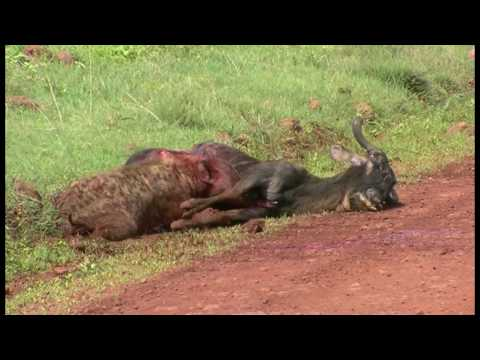 A Hyena eating a Wildebeest alive - Part 2!! (In Ngorogoro) 鬣狗生啃活角馬 - 2 高清