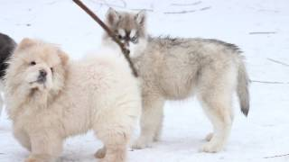 Сибирский Хаски кличка Эй-Джей видео 2