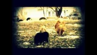 Щенки Чау-Чау ;) (читайте описание ниже) dog of chau-chau