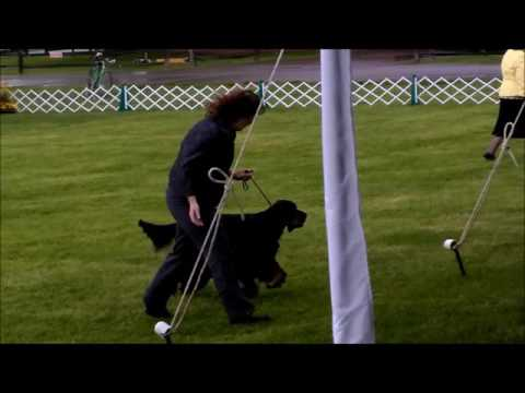 Hannah Veteran Sweeps May 2016 AKC - Gordon Setter National