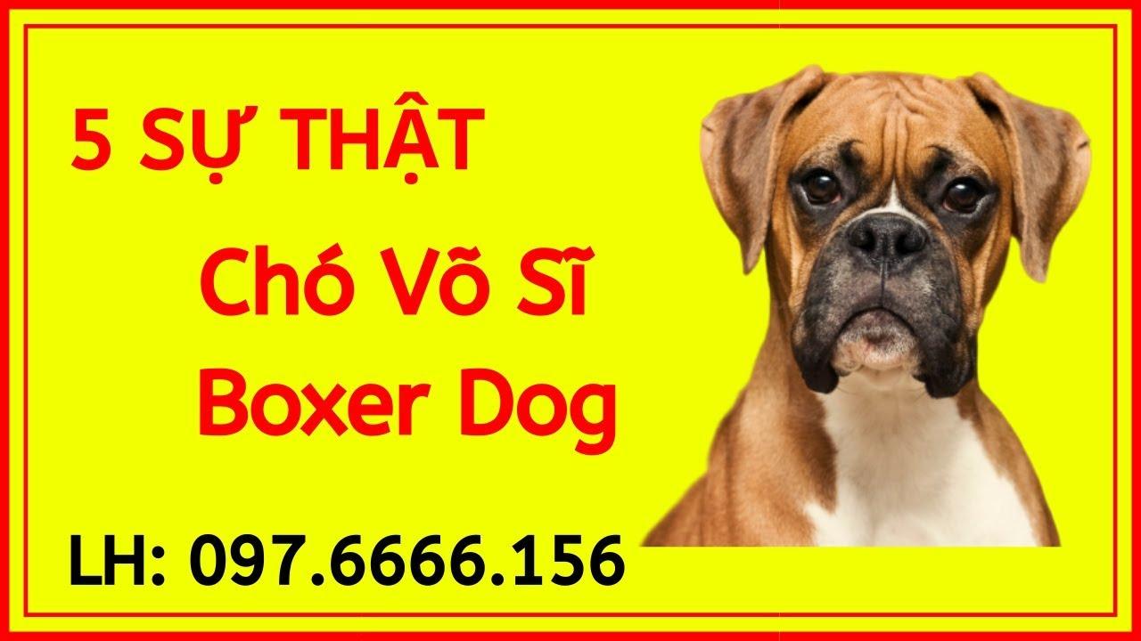 Tìm hiểu về giống chó Boxer- Chó võ sĩ dũng cảm – Mua Ở Đâu, Giá Bao Nhiêu Uy Tín Tại Việt Nam