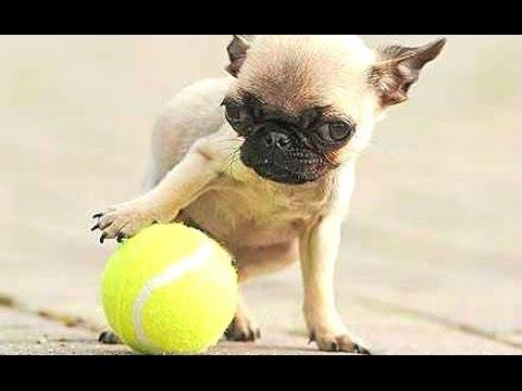 Top 10 Kleinste Honden Ter Wereld Compilatie