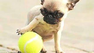 Top 10 kleinste honden ter wereld. Compilatie [hondenrassen]