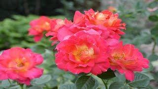 Многолетние растения в цветнике.  Почему я советую сажать многолетники!?  Названия растений.