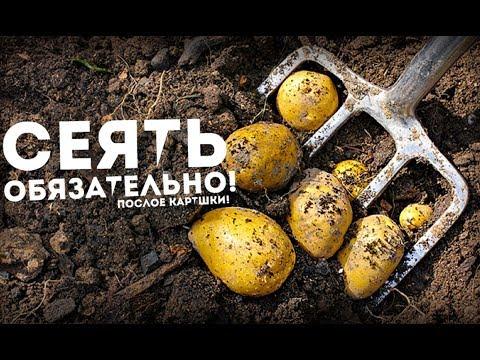 Срочно посейте этот сидерат после картошки! Земля отдыхает в 3 раза быстрее и сорняки пропадут! | картофеля | сидераты | пропадут | отдыхает | картошки | сорняки | сидерат | посейте | быстрее | срочно