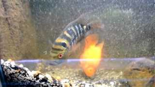 Flowerhorn x Parrot Cichlid Crossbreeding Pair With Eggs