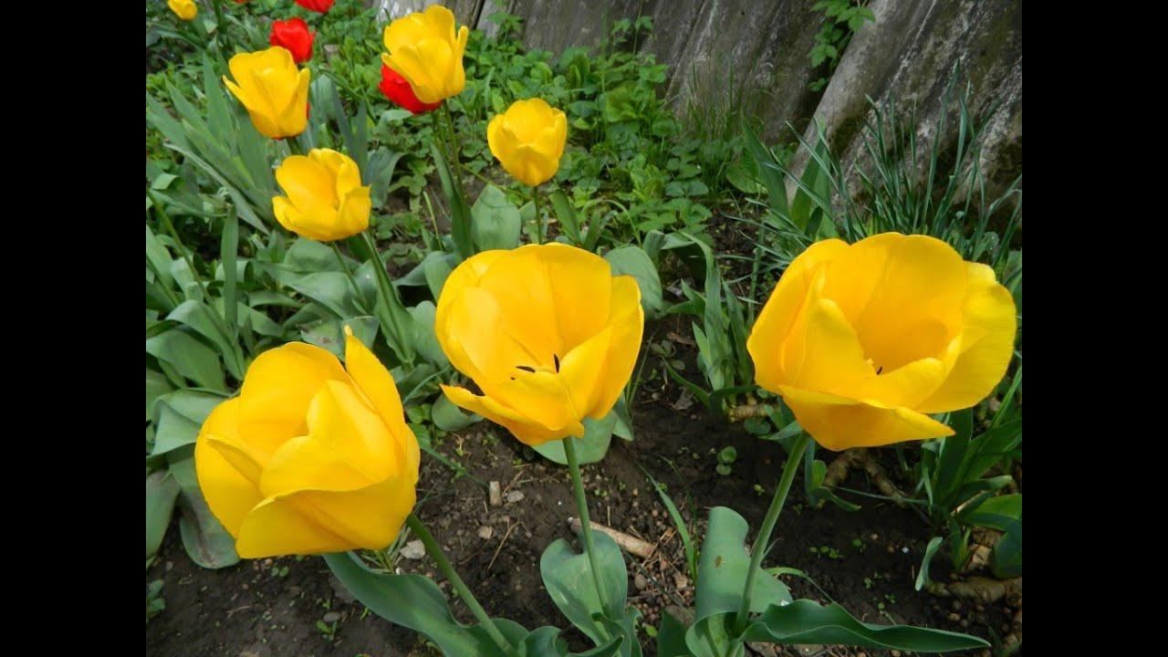 Цветы тюльпаны в саду фото