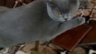 Шотландская вислоухая кошка. Милая Вислоухая кошечка