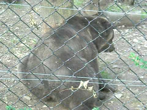 Brown Bear Rubbing Bum on Fence