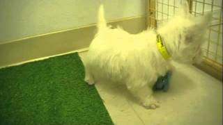 American Puppy Club West Highland White Terrier