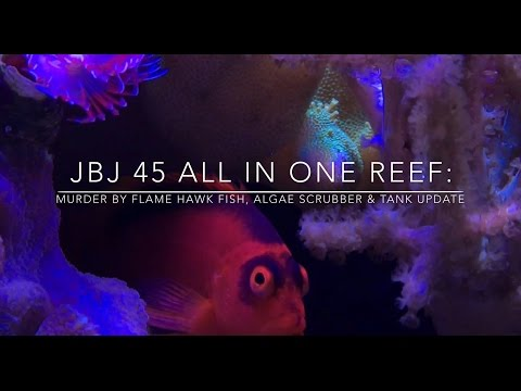 JBJ 45 All In One Reef: Murder By Flame Hawk Fish, Algae Scrubber & Tank Update