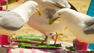 does-the-colour-of-food-prevent-a-seagull-from-stealing-bbc-earth