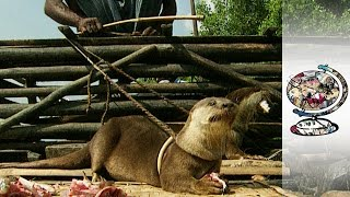 Traditional Otter Fishing in Bangladesh (1997)