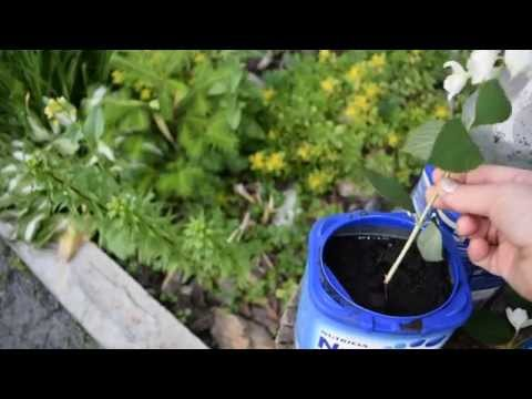 Размножение чубушника (садового жасмина).