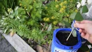 Размножение чубушника (садового жасмина).(, 2015-06-19T04:28:39.000Z)