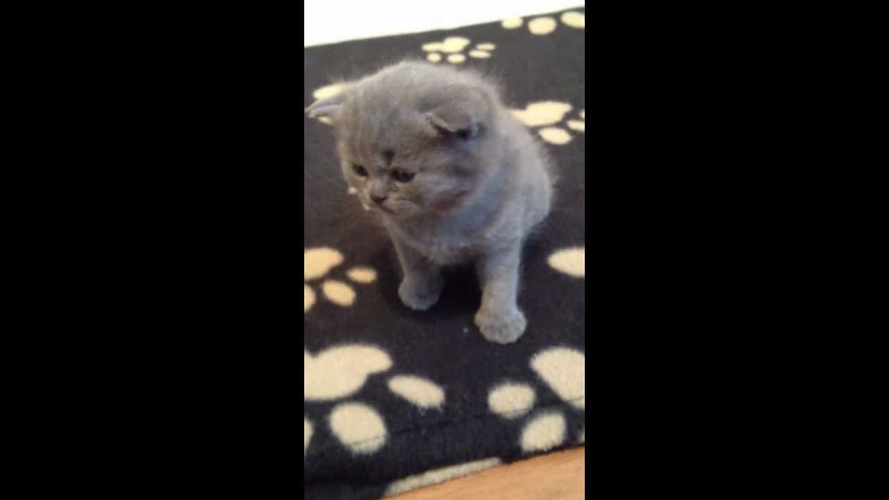 Blue Kittens For Sale : Pedigree british shorthair blue kittens weeks starting to