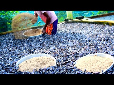 Hybrid Magur Fish Farming Business In India || Catfish Eating Floating Food In Tank
