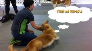 Bang Dog Trick~how To Teach Your Dog!