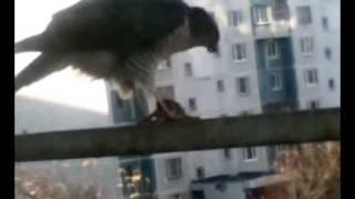 Сокол поедает мышь на балконе! Видимо больше негде!