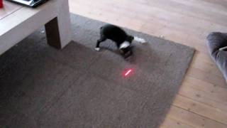 Boston Terrier Puppy And Staffordshire Bull Terrier Attacking Laser Light
