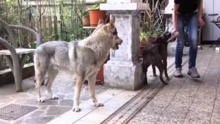 czechoslovakian wolfdog & amstaff