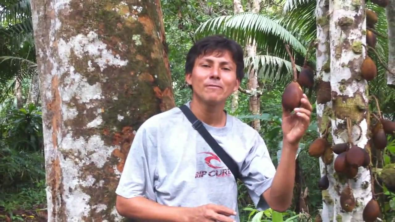 Download Sacha Mango (Grias neuberthii) wild mango near Paucarina Lodge, Iquitos, Peru