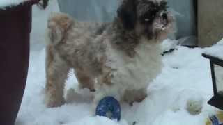Shih Tzu Tobi Playing With Donut In Snow