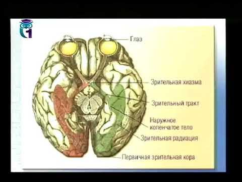 Основы психофизиологии  Психофизиология зрения