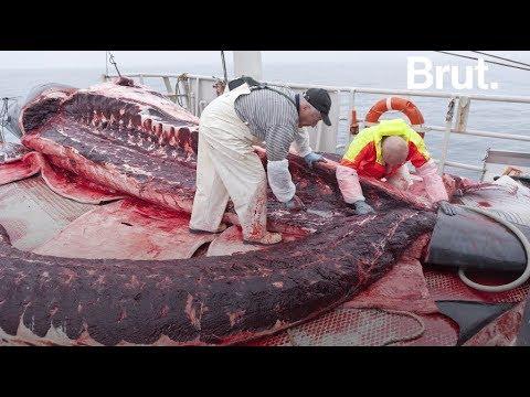 Islande : reprise de la chasse à la baleine
