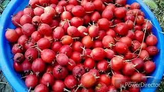 Боярышник, заготовка ягод, стройка;)
